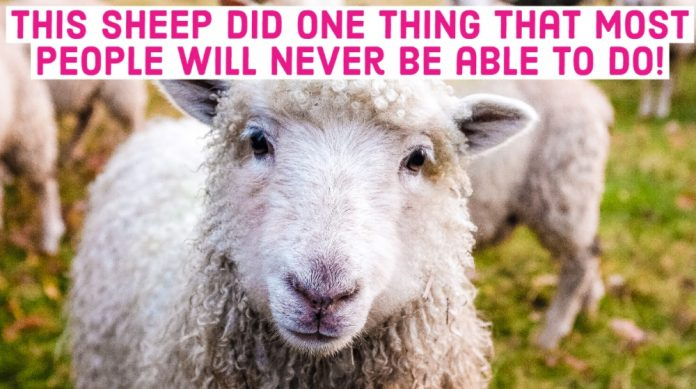 Sheep Farm Herd Animals Text Clickbait Article