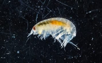 Lysianassidae Found Under Antarctic Ice Shelf