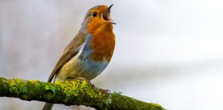 Bird Chirping Tweeting Singing Identify Recognize Animal Sounds App BirdNET