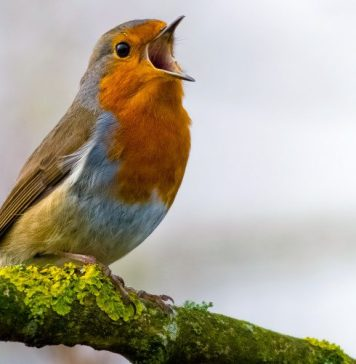 Bird Chirping Tweeting Singing Identify Recognize Animal Sounds App BirdNET